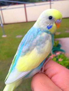 Parakeet Care, Budgie Parakeet, Budgies, Cute Birds, Pretty Birds, Beautiful Birds, Animals And Pets, Cute Animals, Funny Parrots