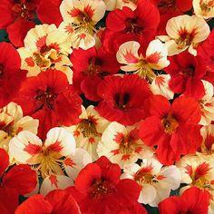 Nasturtium Strawberry Cream - Annual Floower Seeds