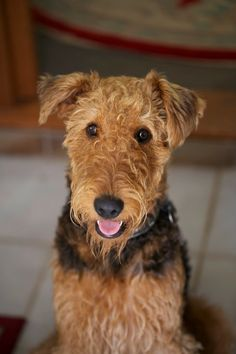 Love Airedales and their impish nature! facebook.com/sodoggonefunny
