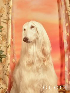 Kyber, an Afghan Hound has helped to raise many puppies, kittens and even a wild animal cub. Squirrels are his mortal enemy.