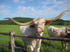 Longhorn at the Wildcatter Ranch