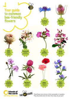 """Your Guide to Common Bee-friendly Flowers. """"Download our free poster at http://www.foe.co.uk/resource/factsheets/bee_friendly_flower_identi.pdf """""""