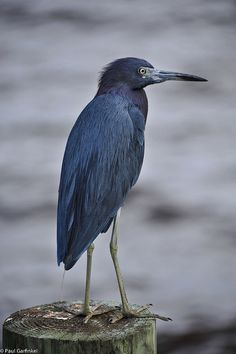 A Little Blue Heron on the dock