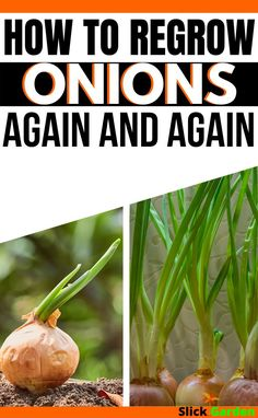 How To Re-Grow Onions From Onions, Again and Again? | Slick Garden.  Plant the onions in rows, keep a distance 4 to 6 inches between two holes, which you make already for plantation. For green onions, this distance may reduce to 2 inches. There is a gap of 12 to 16 inches between two rows.