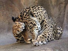 Into the Wild: Dangerous Animals Wildlife photography Nature Animals, Animals And Pets, Funny Animals, Cute Animals, Wild Animals, Into The Wild, Jaguar, Beautiful Cats, Animals Beautiful