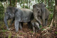 Good news for the only place on Earth where tigers, rhinos, orangutans and elephants live together - Australian Geographic Asian Elephant Facts, Big Cats, Cats And Kittens, Elephant Love, Elephant Family, Endangered Species, Spirit Animal, Animals Beautiful, Good News