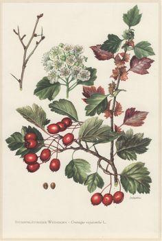 1960 Hawthorn Tree Vintage Botanical Print by Craftissimo on Etsy