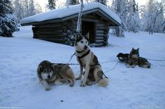 Husky safari (17) | Saariselkä.  Buy Husky safaries online from www.saariselka.com #weeklyprogram #husky #huskysafari #dogsafari #saariselkä #saariselka #saariselankeskusvaraamo #saariselkabooking #astueramaahan #stepintothewilderness #lapland