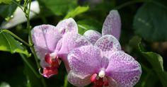 Die Orchidee erfreut sich in Deutschland immer noch ungebrochener Beliebtheit: Keine andere Zimmerpflanze wird so oft verkauft. Gerade die bekannte Nachtfalterorchidee (Phalaenopsis), die es inzwischen in unzähligen Farbvariationen gibt, blüht bei richtiger Pflege fast das ganze Jahr. Sie ist die perfekte Orchidee für Einsteiger.