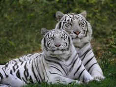 The freshly launched compilation of tiger two albino animals beautiful hd new wallpapers The Animals, Unusual Animals, Nature Animals, Animals Beautiful, Beautiful Creatures, Animals Images, Exotic Animals, Beautiful Cats, Baby Animals