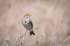 Can you hear me now? Prairie songbirds change their tune to cope with human noise Noise Pollution, Savannah Chat, Change, Friends, Natural, Amigos, Boyfriends, Nature, True Friends