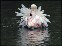 greater flamingo (photo by eric causse)