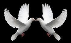 Love doves that symbolize love -Romantic Love Pictures Love Birds, Beautiful Birds, Pigeon, Dove Release, Romantic Love Pictures, Animals And Pets, Cute Animals, Dove Tattoos, Celtic Tattoos