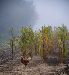 Our Chickens enjoying the bounty of corn left over from the fall harvest. Water Mill, Urban Farming, Fall Harvest, Photo Art, Restoration, France, Plants, Autumn Harvest, Plant