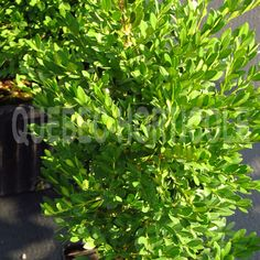 image de Buxus sempervirens Mont-Bruno Buxus Sempervirens, Jouer, Quebec, Herbs, Projects, Photos, Image, Gardens, Shrubs
