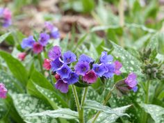 17 Plant Remedies for Cough, Lung Infections and Bronchitis - lungwort flowers - - Asthma Treatment Lung Infection, Natural Asthma Remedies, Chest Congestion, Grape Seed Extract, Ground Cover Plants, Soothing Colors, Spring Blooms, Little Flowers, Medicinal Plants
