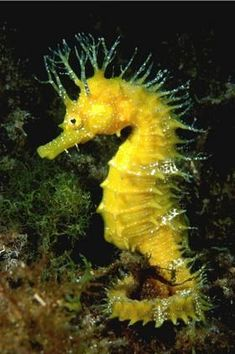 A Cold-Water Seahorse Seahorses are not just tropical creatures. They can be found in colder waters like those found off New Zealand, Argentina, Eastern Canada, and the UK. This long-snouted seahorse (Hippocampus guttulatus) can be found in UK. Underwater Creatures, Underwater Life, Ocean Creatures, Beautiful Sea Creatures, Animals Beautiful, Illustration Photo, Water Animals, Sea Dragon, Wale