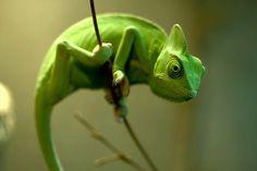 Veiled Chameleon, SO GREEN!