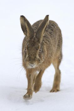 Brown Hare in the Snow thanks to Drum Images, Damian