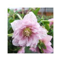 http://shop.unquadratodigiardino.it/ellebori-e-altri-fiori-invernali/594-helleborus-phoebe.html