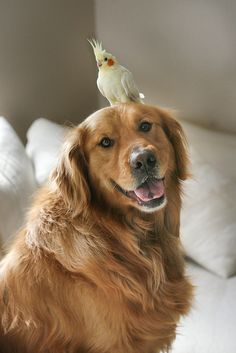 Golden Retriever and his Cockatiel friend