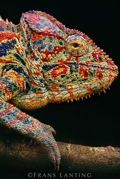 I loved my chameleons I had as pets. I will visit Madagascar some day! Oustalet's chameleon, Madagascar (by National Geographic photographer Frans Lanting) The Animals, Nature Animals, Reptiles And Amphibians, Mammals, Beautiful Creatures, Animals Beautiful, National Geographic Animals, National Geographic Photos, Frans Lanting