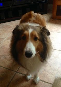 Sensitive shelties often get this look of concern, even when they haven't done anything wrong. It comes from a deep desire to please. The are incredibly attuned to your emotions and respond to how you are feeling, even when you don't openly express yourself.