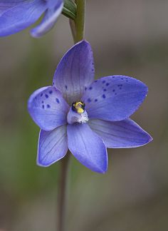 Spotted Sun-Orchid [Thelymitra ixioides] flowering in the Powranna Nature Reserve, Tasmania, Australia - Flickr - Photo Sharing!