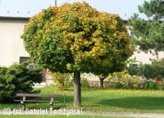 klon pospolity 'Globosum' - Acer platanoides 'Globosum' | Katalog roślin - e-katalog roślin