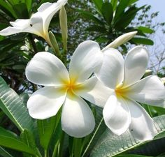 Plumeria. I can smell these right now!