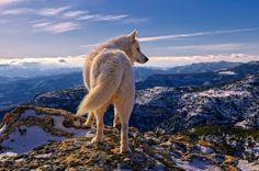 White wolf Animal HD desktop wallpaper, Wolf wallpaper - Animals no. Wolf Spirit, Spirit Animal, Wild Life, Beautiful Creatures, Animals Beautiful, Tier Wolf, Animals And Pets, Cute Animals, Wild Animals