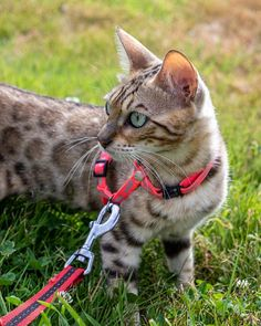 Perle - Chat - Bengal - Yummypets Chat Bengal, Browser Support, Cats, Animals, I Love Cats, Bead, Gatos, Animales, Animaux