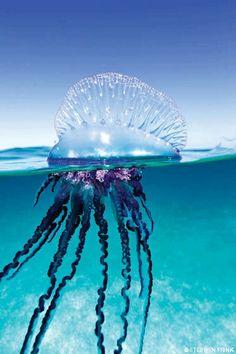 Portuguese Man of War Jellyfish