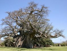 A treebar, sounds like a lofty edifice perched amid sturdy branches, but this South African watering hole is actually built inside an enormous, 6,000-year-old baobab tree. Over several millennia, the trunk's wood naturally hollowed out, allowing enough room to accommodate 15 people. The property's owners took advantage of the natural phenomenon to create an entertaining space within the surprisingly roomy interior.