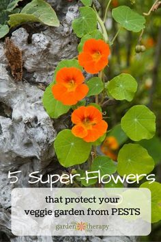 Adding flowers to your vegetable garden isn't just pretty, it's smart! There are many flowers with properties that act as a deterrent too many vegetable garden pests. Nasturtiums, Marigolds, Borage, Petunias, and Chrysanthemums.