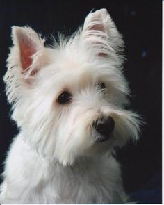 Westies have such expressive faces.  I have two  Jake and Maxx