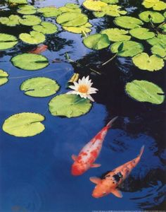 Koi Fish in My Pond