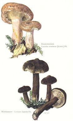 woolly milkcap or bearded milkcap, lactarius torminosus and lactarius lignyotus, original vintage lithograph, 1963
