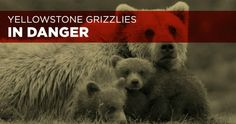 Grizzly bears still need Endangered Species Act protections, stop the delisting and make a better plan!
