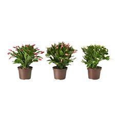 SCHLUMBERGERA Potplant - IKEA
