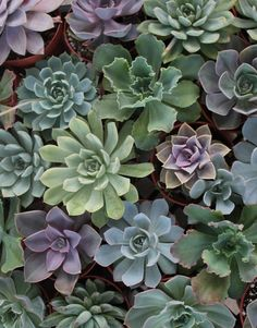 "ECHEVERIA Succulents will add a rustic ""Arizona"" touch to the centerpieces"