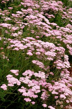 Appleblossom Yarrow SUN Fast grower to 2 to 3 ft. Fast-growing clumps of ferny, gray-green leaves form a compact, spreading mound, perfect for massed plantings. Soft lilac-pink to pale rose flowers summer to fall. Full Sun Perennials, Herbaceous Perennials, Pink Garden, Summer Garden, Garden Bed, Low Water Landscaping, Garden Landscaping, Drought Tolerant Shrubs, Yarrow Plant