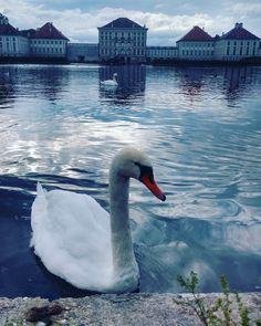 Cisne em lago no castelo de Nymphenburg em Munique, Alemanha