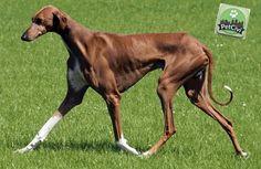 Raza AZAWAKH, descubre más sobre tu mascota en nuestra wiki especializada. (Próximamente disponible) www.petcivi.com/