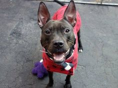 TO BE DESTROYED - 01/11/15 Manhattan Center -P  My name is DIAMOND. My Animal ID # is A1024233. I am a female black and white pit bull mix. The shelter thinks I am about 1 YEAR 1 MONTH old.  I came in the shelter as a STRAY on 12/29/2014 from NY 10460, owner surrender reason stated was STRAY.