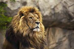 """Todo lo que deseabas saber del """"Rey de la Selva"""" #AnimalesSorprendentes http://www.mundosalvaje.com.mx"""