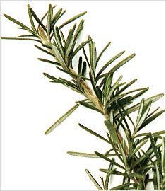 O alecrim é um arbusto que atinge de 50 cm até 2 metros de altura, com folhas coriáceas (com aparência de couro), resinosas, lineares e verde-escuras na parte superior e verde-acinzentadas na inferior.