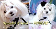 -Picture of Cosette, Korean Style- Asian fusion grooming.