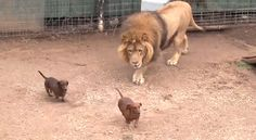 This Lion Is BFFs with a Pack of Dachshunds