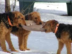Tug-o-war Airedale style. The one on the right looks like mine.